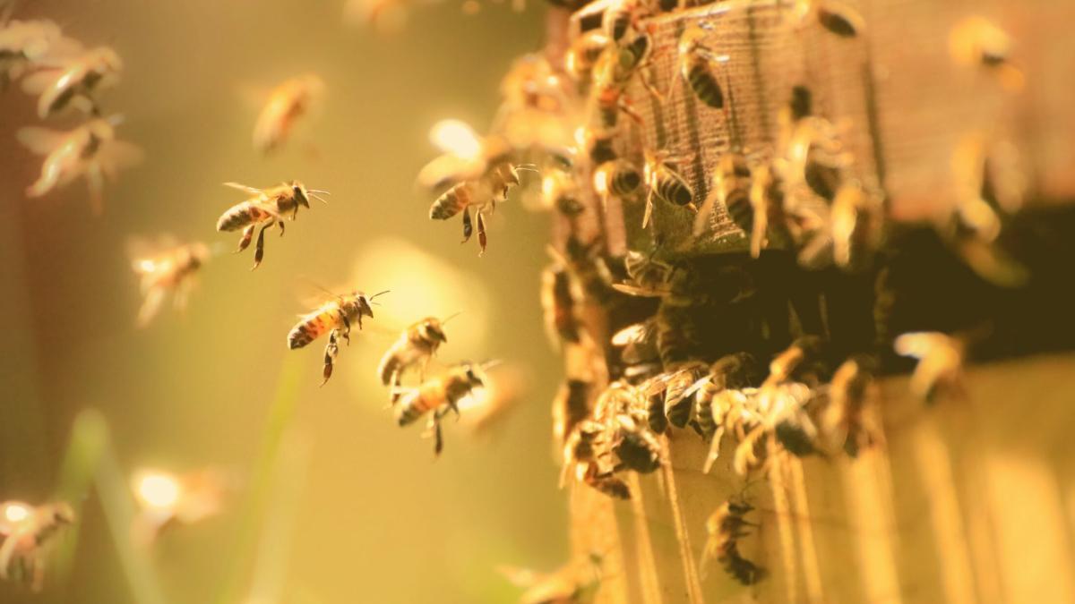 Große Erhebung zeigt: So geht's den Honigbienen in Österreich wirklich