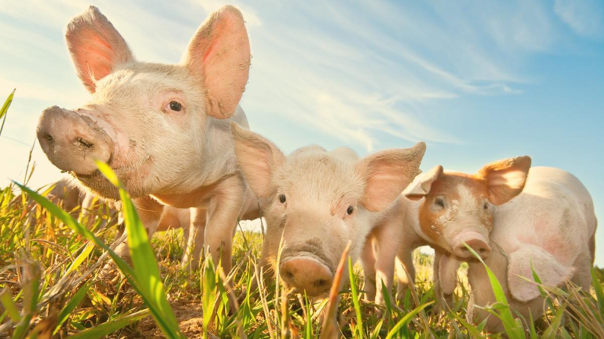 Wusstest Du das? Drei geniale Fakten über Schweine