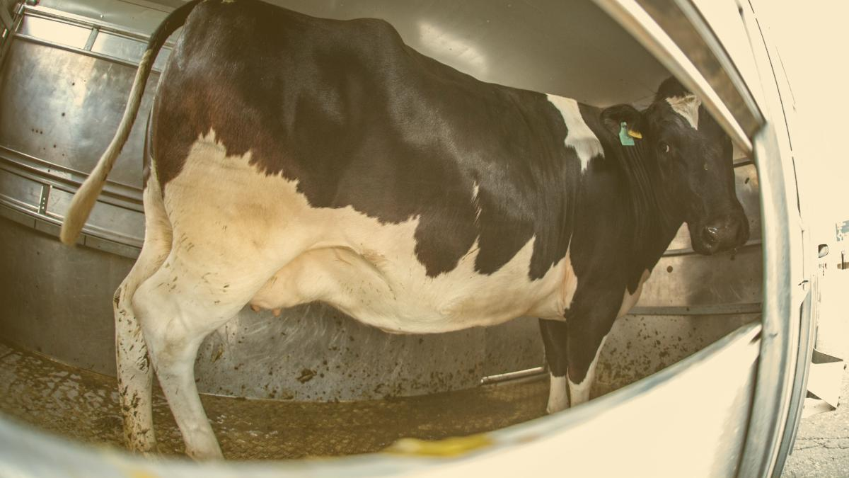 5.000 Kilometer Tierqual: Rinder werden bis nach Usbekistan gekarrt