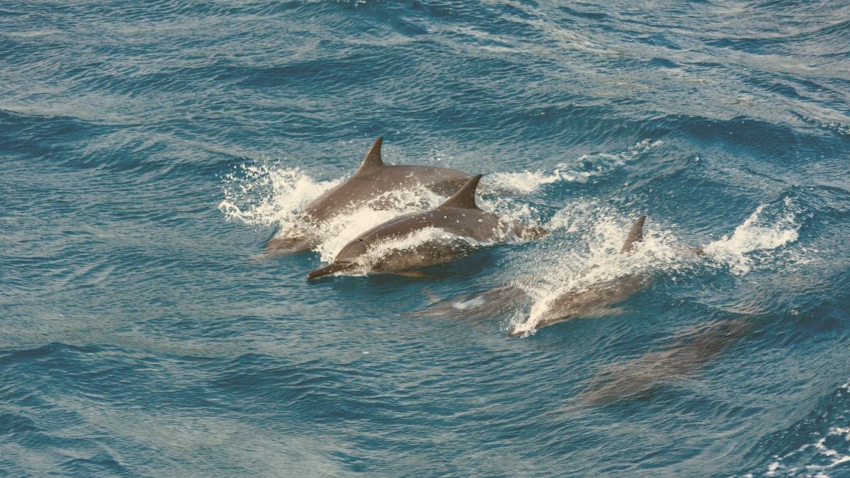 """Färöer-Inseln lenken ein: Barbarische Tradition der Delfinjagd wird """"neu bewertet"""""""