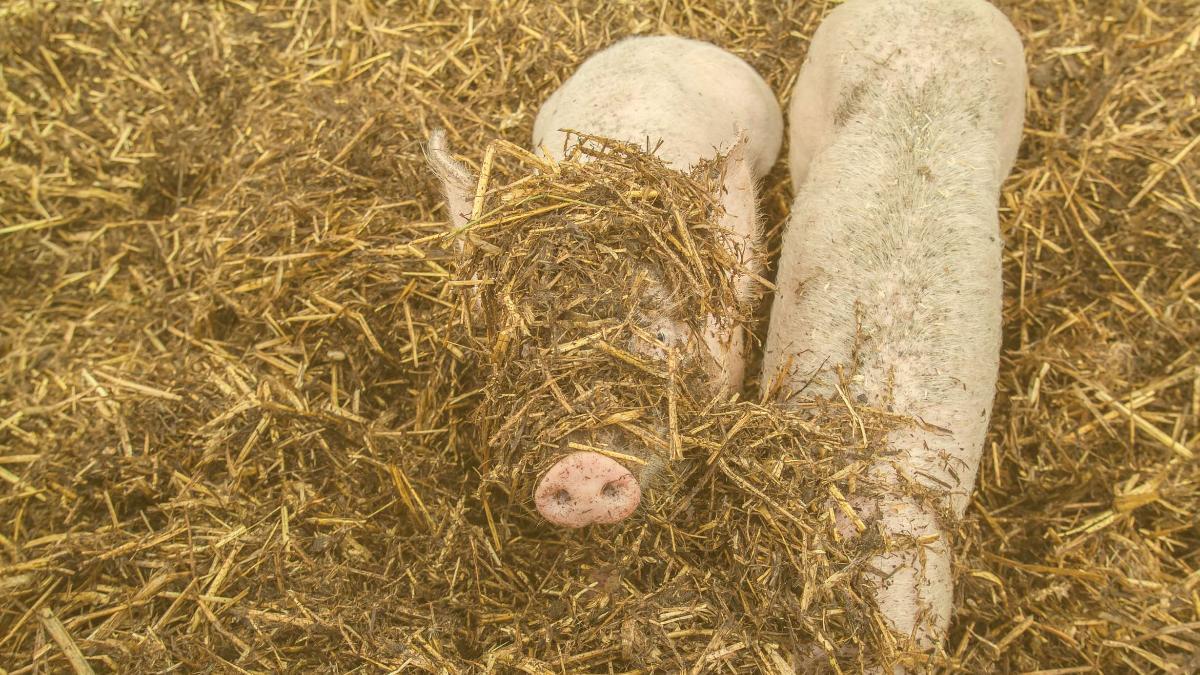 Neue Studie entlarvt Lügen: Mehr Tierwohl wäre leistbar