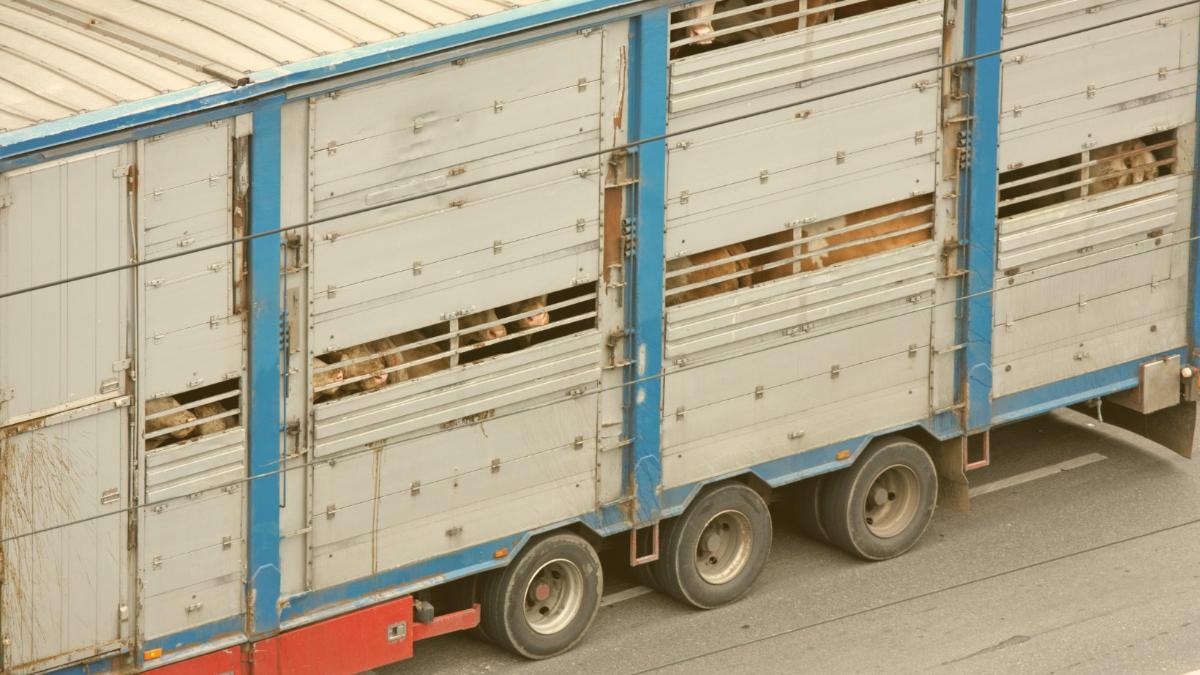 Hoffnung lebt: Erneut Transport von 528 deutschen Kühen nach Marokko verboten!