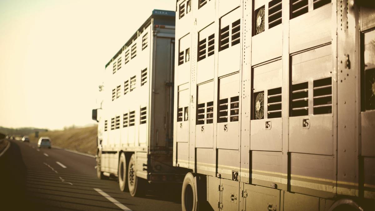 Minister-Erlass: Tiertransporte dürfen bei Hitze nicht mehr abgefertigt werden!