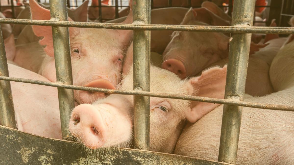 Überladene LKW, verletzte Tiere: Regierung muss Tiertransporte endlich stoppen!