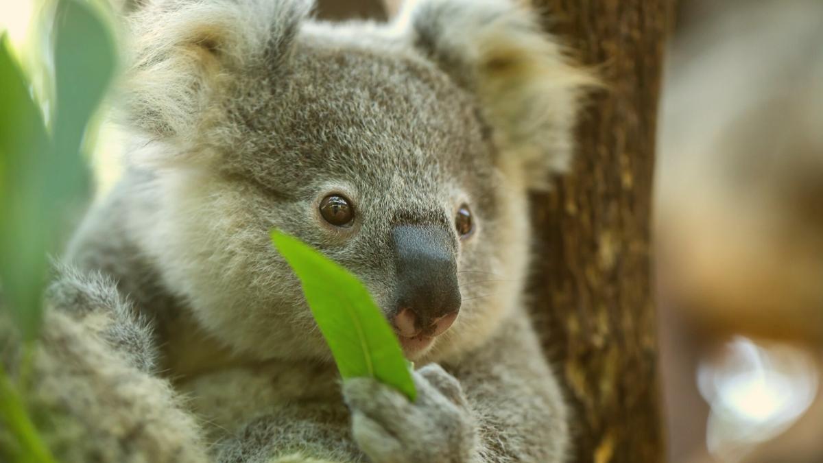 Massensterben: Deswegen ist die Zahl der Koalas um 30 Prozent gesunken