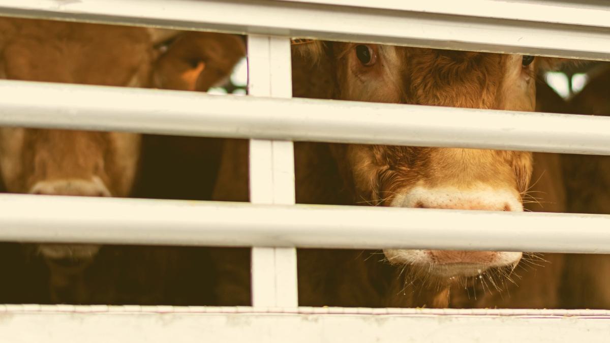 Zur Schächtung ins Ausland: Deswegen gehen die grausamen Tiertransporte weiter
