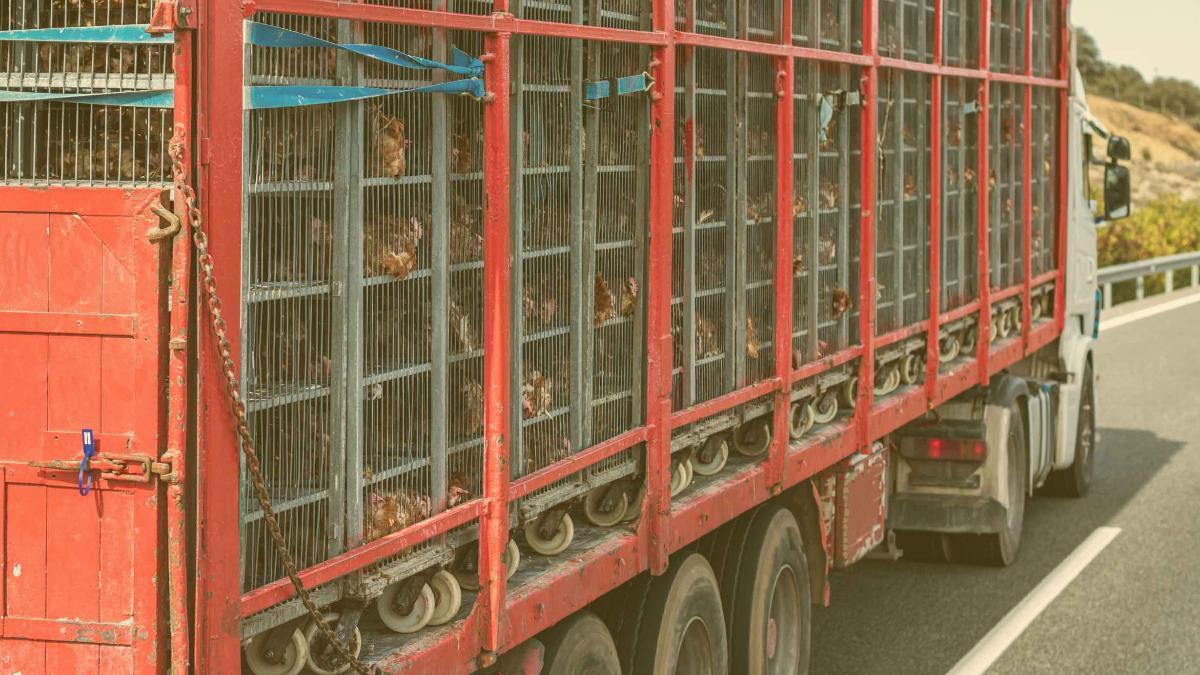 Kreislauf Massentierhaltung: Soja importiert, Tiere exportiert