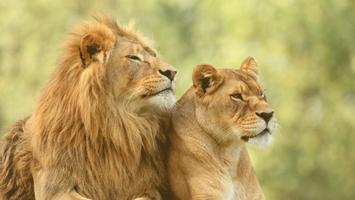 Südafrika will Gatterjagd auf Löwen verbieten lassen