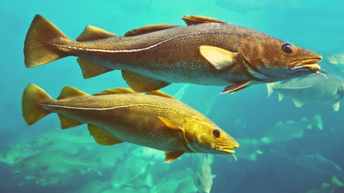 Überfischung: Hier wird es bald keine Dorsche mehr geben