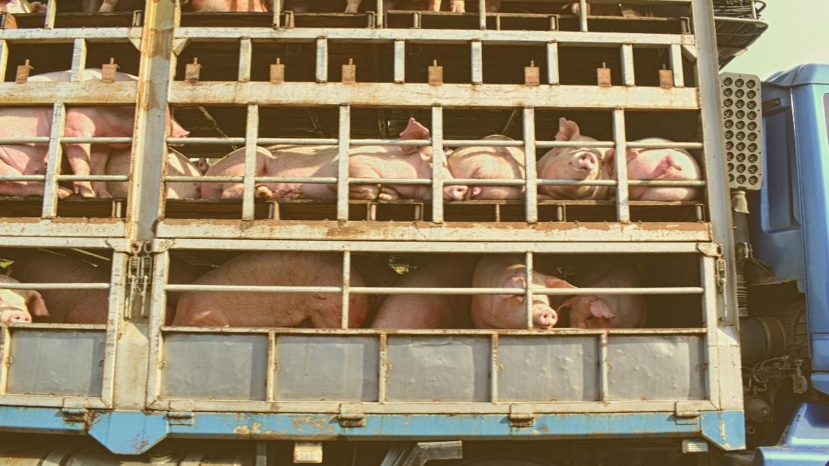 Deutsches Bundesland fordert EU-weites Verbot von Tiertransporten!