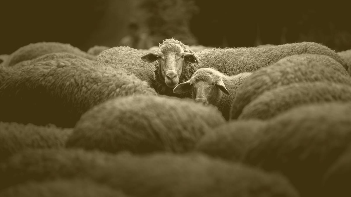 Riesiger Skandal in Österreich: Hunderte Schafe ohne Betäubung geschächtet
