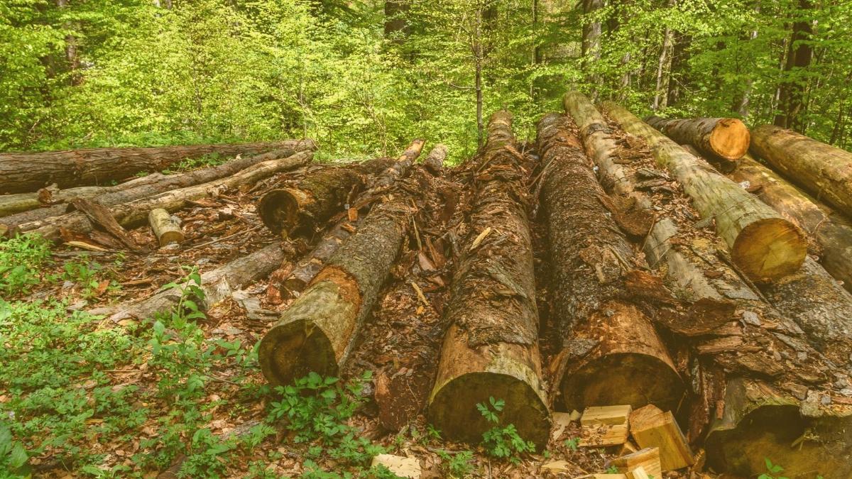 Europas Holzhunger bedroht die Artenvielfalt