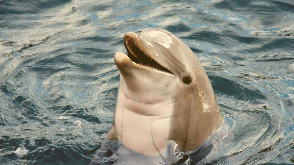 Jagd auf Delfine eröffnet: Das passiert wirklich mit den gefangenen Tieren