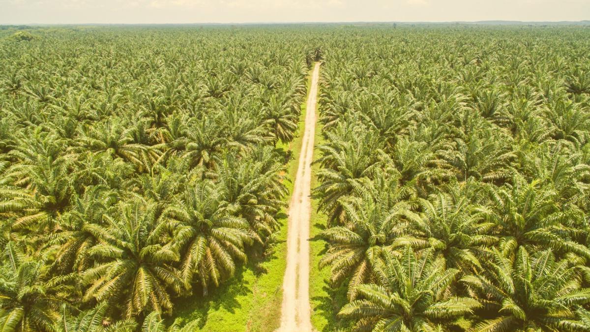 Irrer Boom: Hier sollen künftig Milliarden Kilo Palmöl jährlich produziert werden