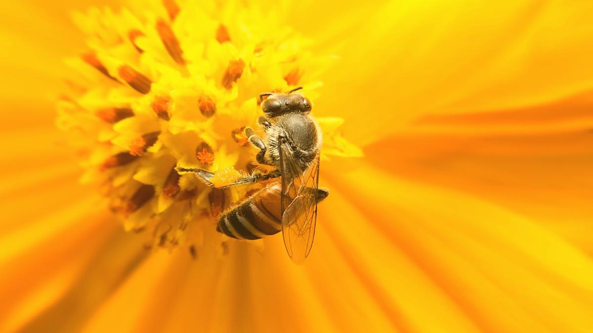 Zig Millionen tote Bienen: Hier ist die Honigproduktion zusammengebrochen