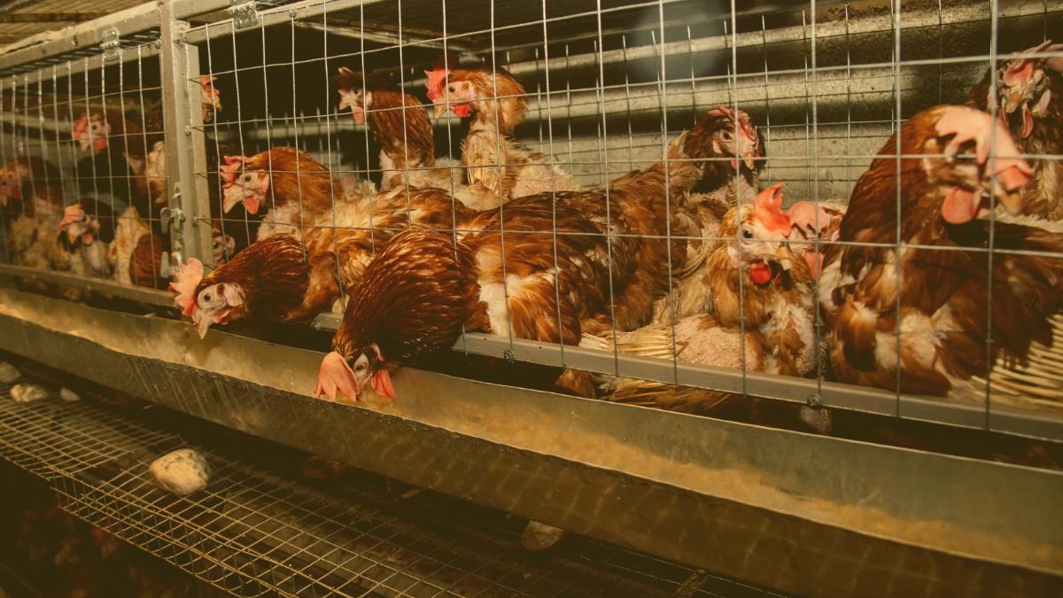 Die Rückkehr der Tierqual: Finger weg von Import-Eiern!