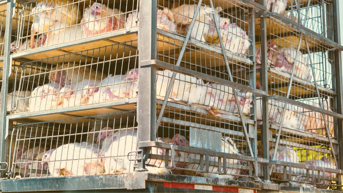 """Kritik an Billig-Importen: """"Ein Versuch, uns Tierqual als Schnäppchen unterzujubeln"""""""