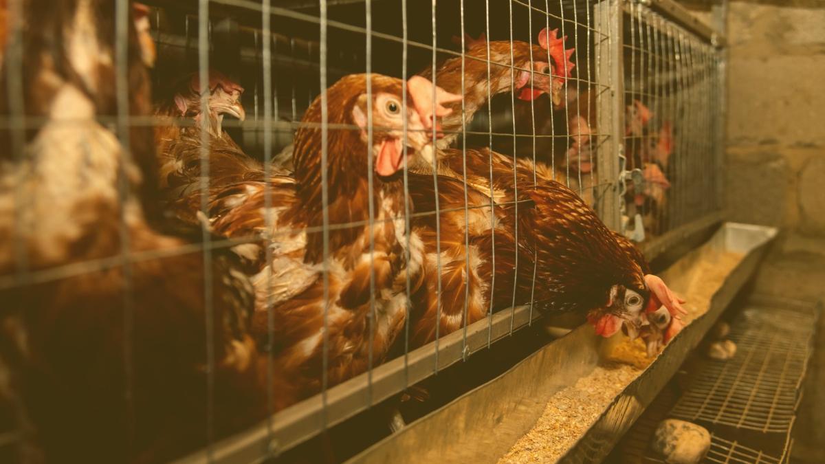 Lebensmittel-Kennzeichnung: 86 Prozent wollen wissen, wie Tiere gelebt haben