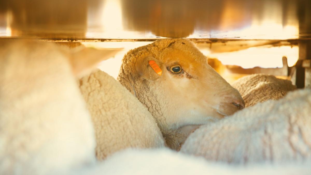 Unsere Schafe: So schrecklich endet ihr Leben im Nahen Osten