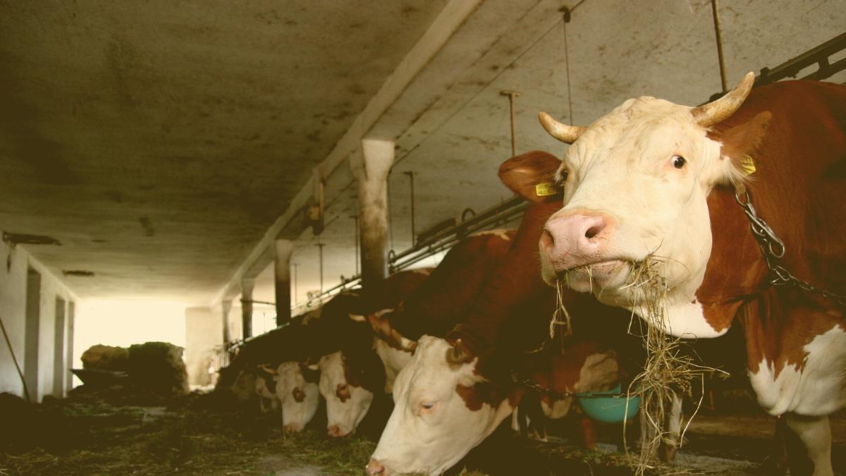 Wieder 150 Rinder qualvoll verhungert: Politische Konsequenzen gefordert