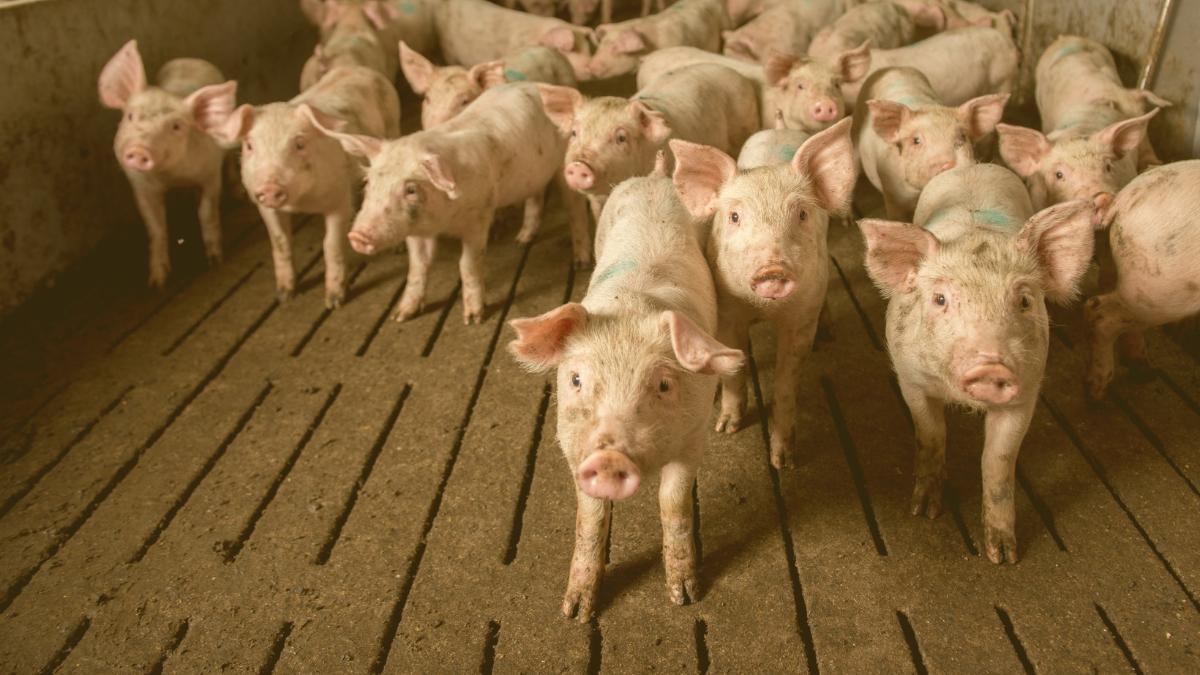 Keine Tierfabriken mehr: Deutsches Bundesland will Obergrenzen einführen