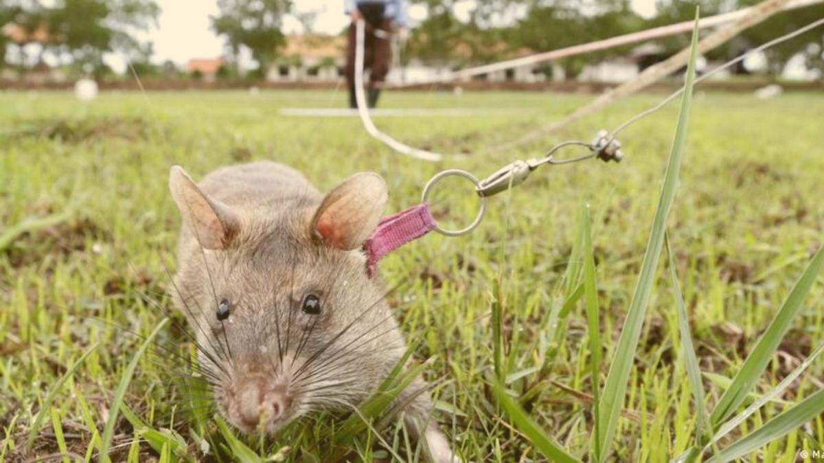 Erfolgreicher als jeder Mensch: Geniale Ratte spürte 109 Sprengkörper auf