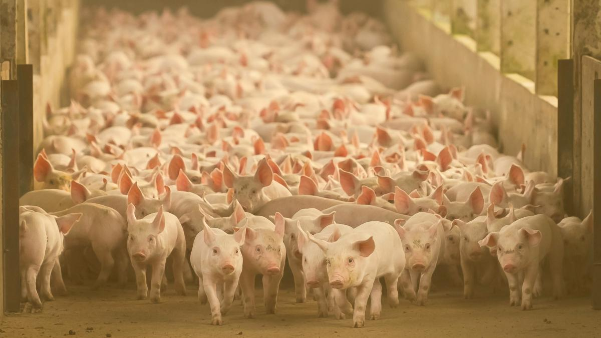 """Protest gegen """"Schweine-Städte"""": Gigantische Tierfabriken für Chinas Fleischgier"""