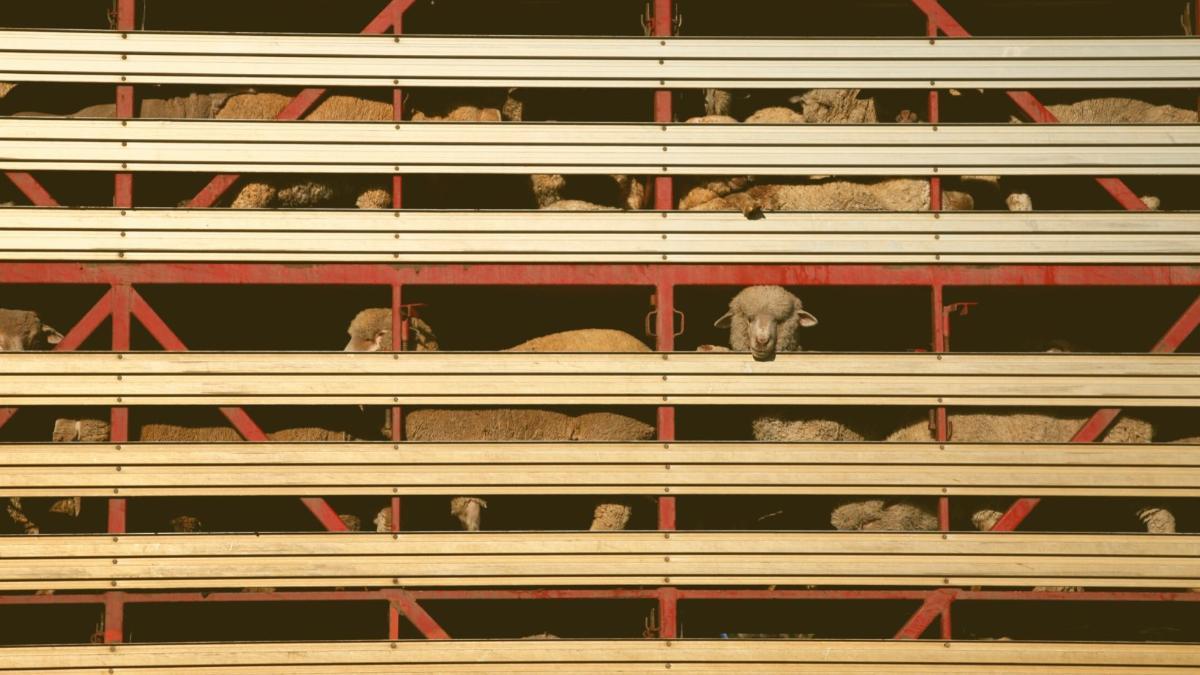 Druck steigt: EU berät über Verbot von Tiertransporten ins Ausland