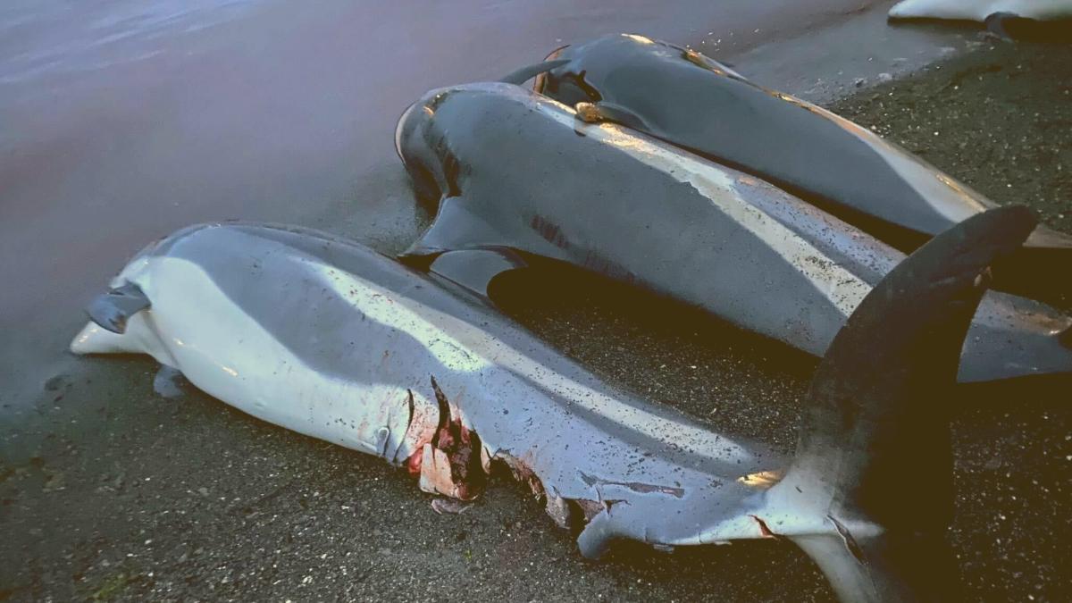 Weltweite Entrüstung: Hier in Europa wurden 1.428 Delfine an einem Tag getötet