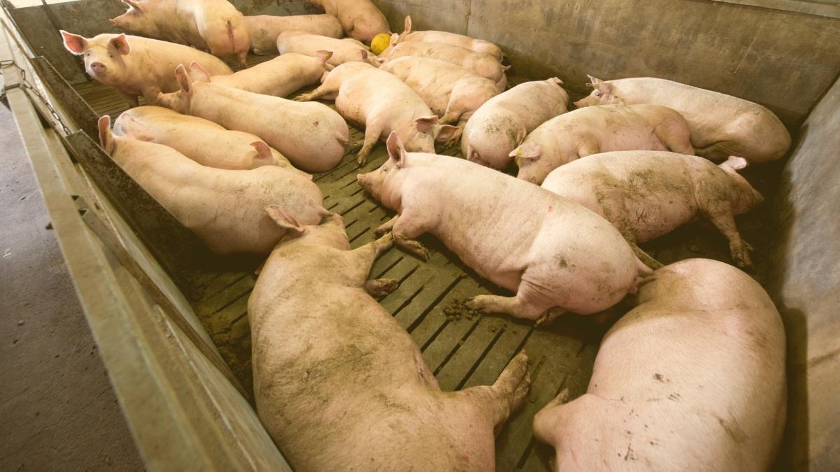 AMA-Siegel bleibt mies: 100-Kilo-Schweine erhalten DIN-A4-Blatt mehr Platz