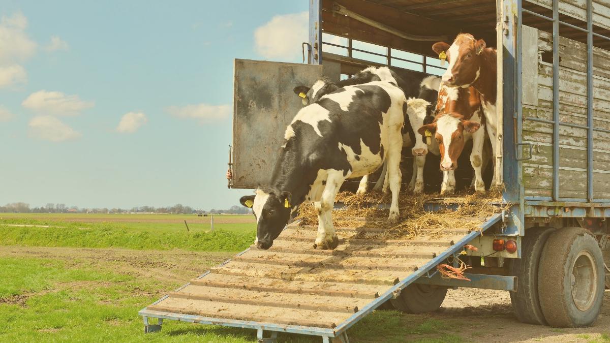 Protest wirkt: Trächtige Kühe werden nicht nach Marokko transportiert!