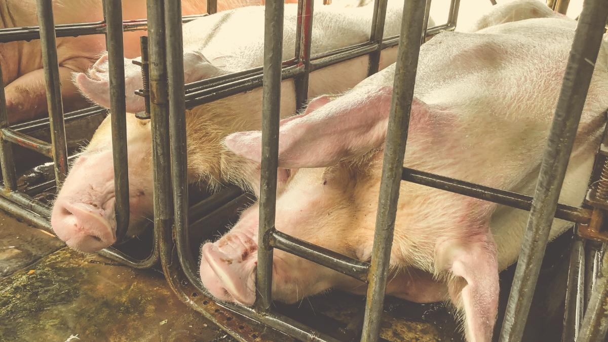 Nur 1 Prozent hat Auslauf: So mies werden Schweine wirklich behandelt