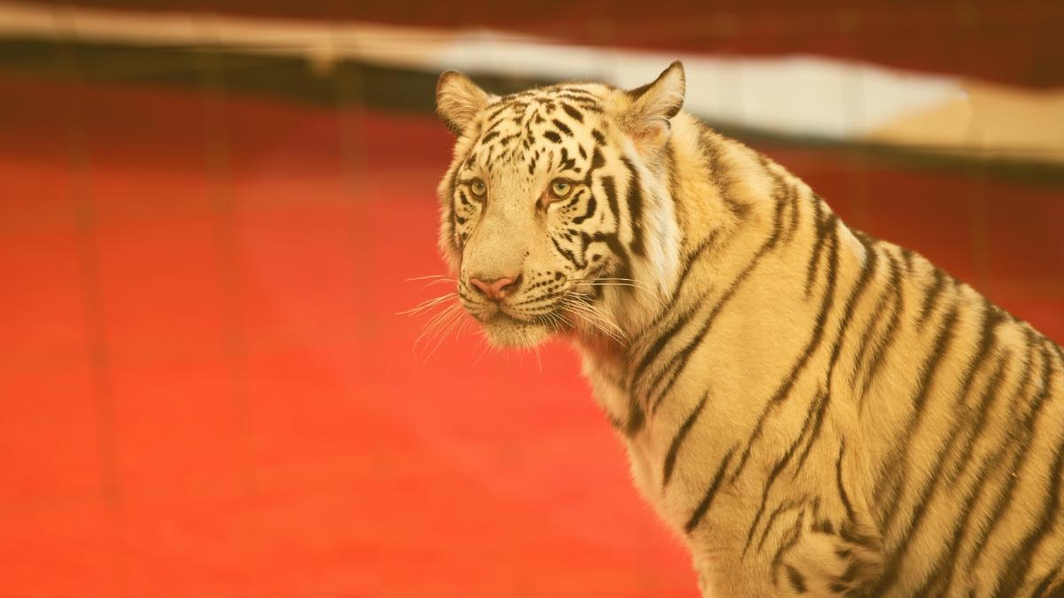 Verbot für Wildtiere im Zirkus: Das sind die Pläne der deutschen Regierung