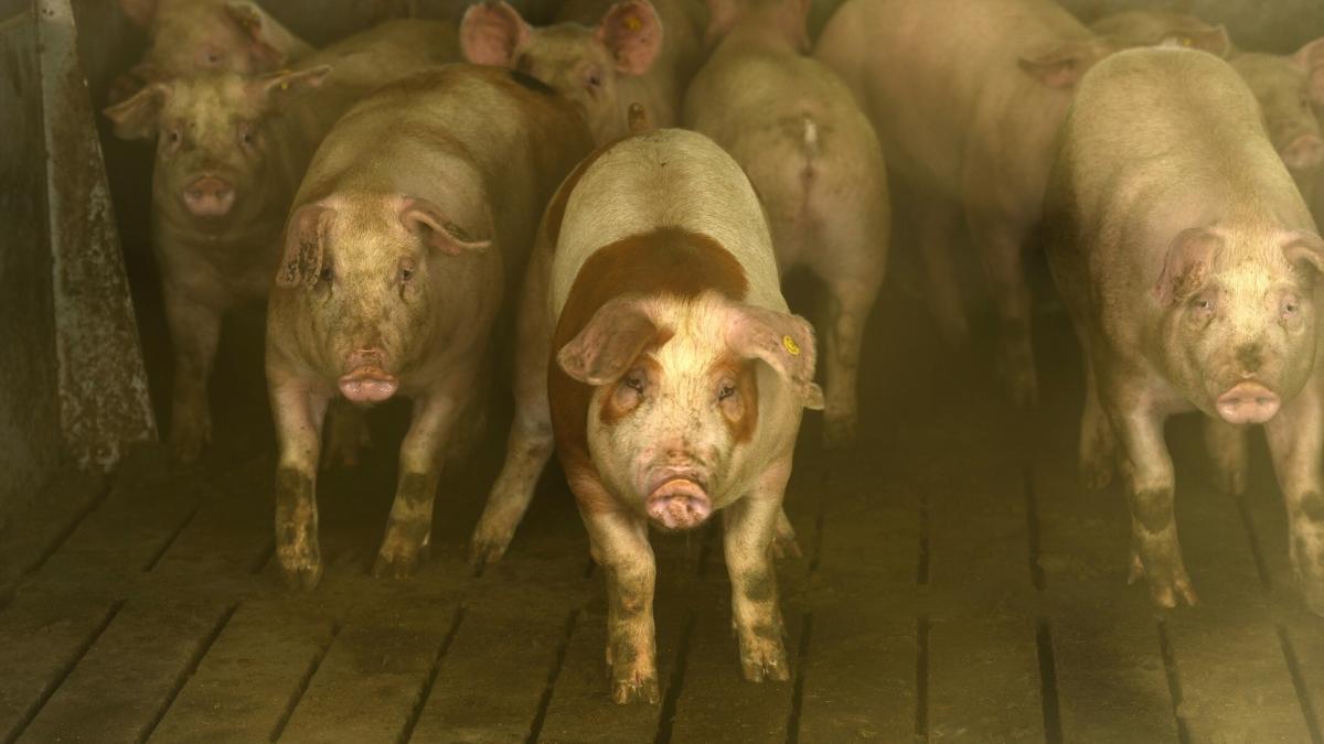 Abszesse & Entzündungen: Jedes 3. Schwein vor Schlachtung krank