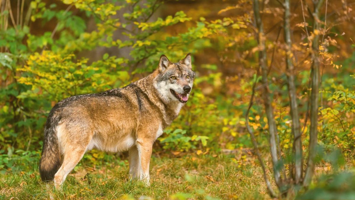 Verordnung ab heute in Kraft: Hier dürfen Wölfe jetzt legal geschossen werden