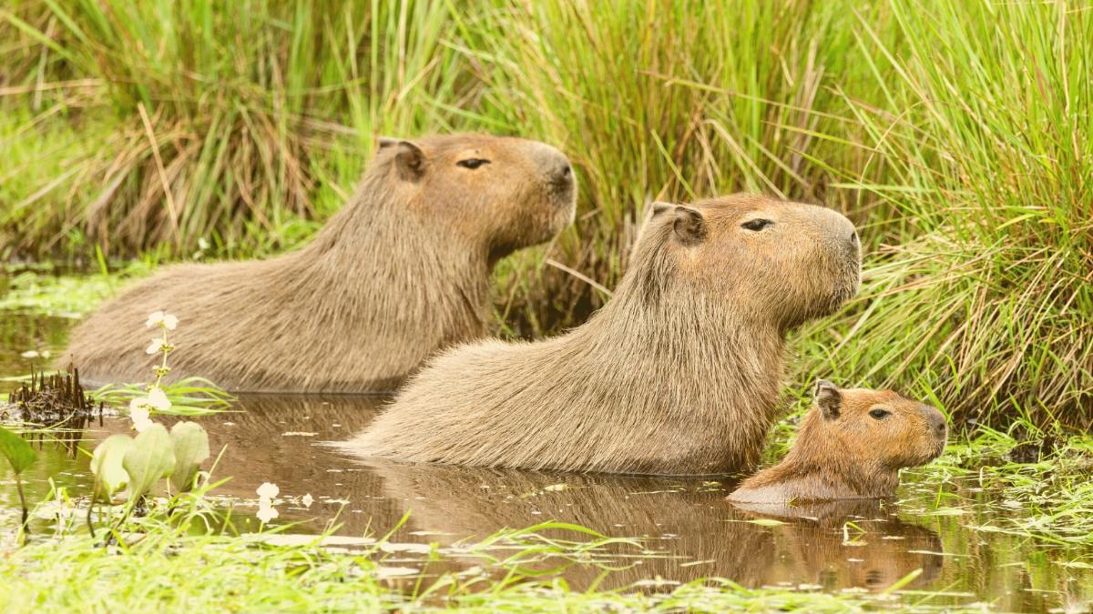 Ärger für Reiche: Hier holen sich Wasserschweine ihren ehemaligen Lebensraum zurück