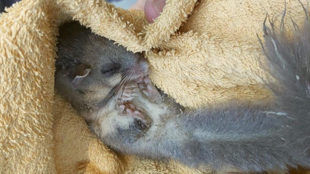 Tierisches Wunder von Hallein: Siebenschläfer-Baby aus Geröll gerettet