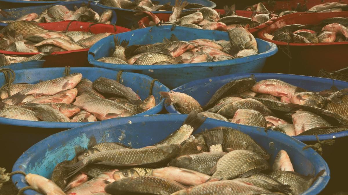 China fischt Meer vor Gambia leer: Fischmehl für Lachszucht in Europa
