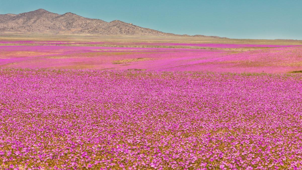 Wunderschönes Naturschauspiel: Hier blüht jetzt die Wüste in allen Farben