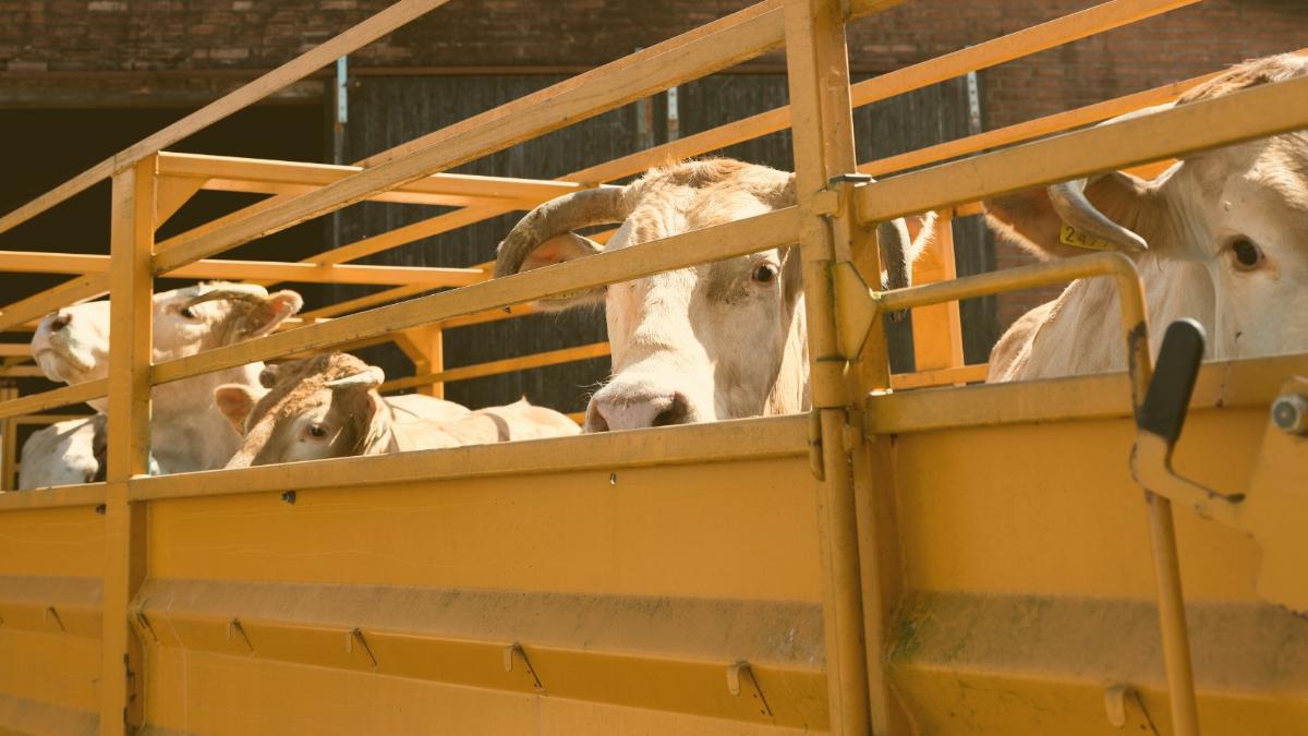 Gericht verbietet Transport: 448 Rinder dürfen nicht nach Marokko gekarrt werden
