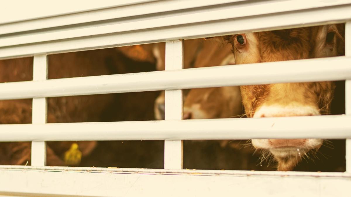 Tiertransporte trotz extremer Hitze: Für Tiere eine Tortur