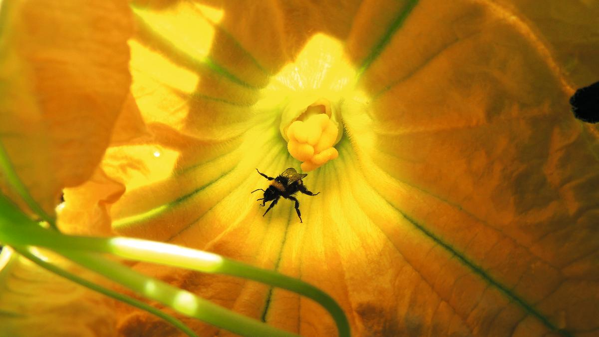 Pestizide schaden Wildbienen: 89 Prozent weniger Nachkommen