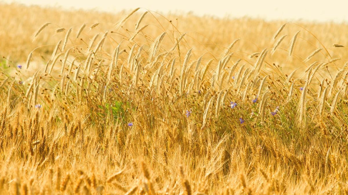 Schlechte Ernte durch Unwetter: 400.000 Tonnen weniger Getreide in Österreich