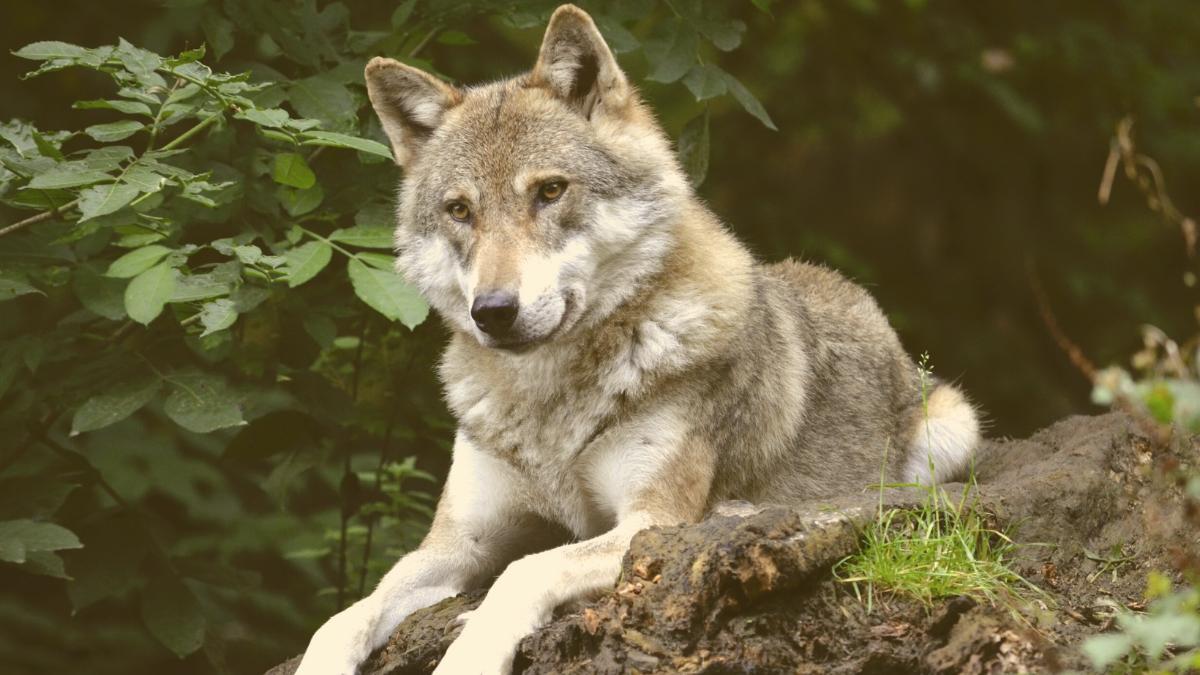 Aufregung in Tirol: Dieser Wolf soll jetzt geschossen werden