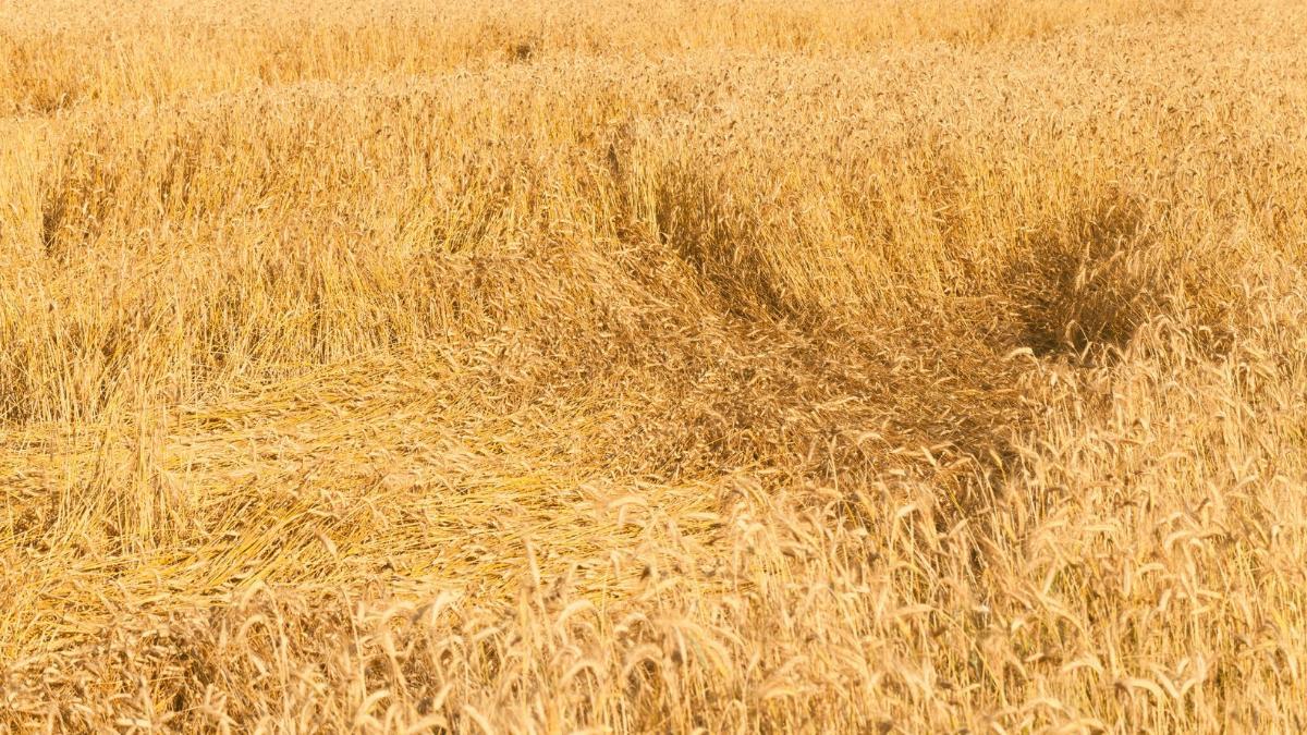 Prekäre Lage: Getreideernte im Osten Österreichs um 20 Prozent niedriger