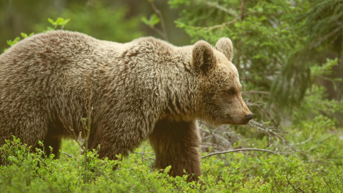 """""""Öffentliches Interesse"""": Noch ein Bundesland ermöglicht Abschuss von Wölfen & Bären"""