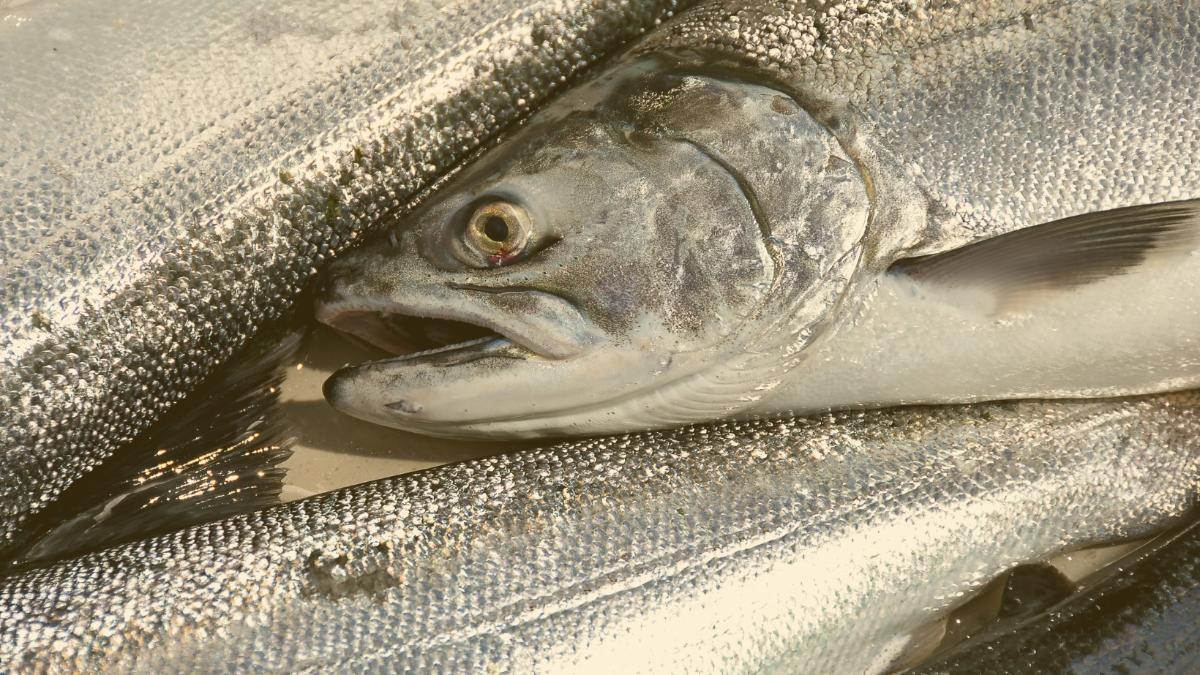 Riesiger Erfolg: Erstes Land der Welt verbietet industrielle Lachszucht